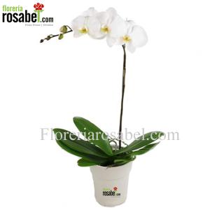 Planta de Orquidea Blanca Phalaenopsis Delivery Lima Peru