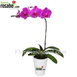orquidea phalaenopsis fucsia