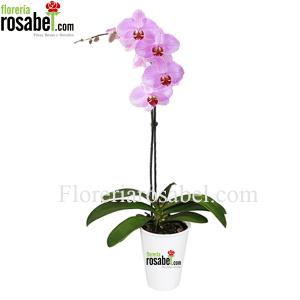 Planta de Orquidea Phalaenopsis Rosada Delivery Lima Peru